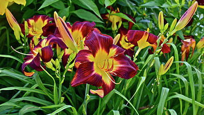 Photograph - 2017 End Of July At The Gardens Persian Ruby Daylily by Janis Nussbaum Senungetuk