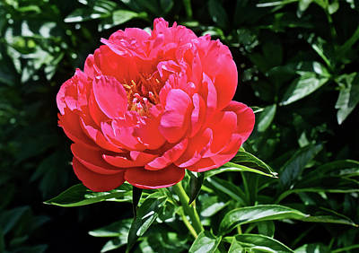 Photograph - 2017 End Of May At The Gardens Ruby Slippers Peony by Janis Nussbaum Senungetuk