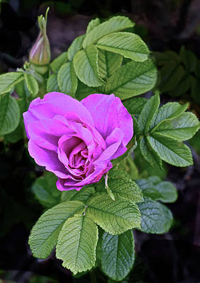 Photograph - 2017 End Of May At The Gardens Vancouver Shrub Rose by Janis Nussbaum Senungetuk