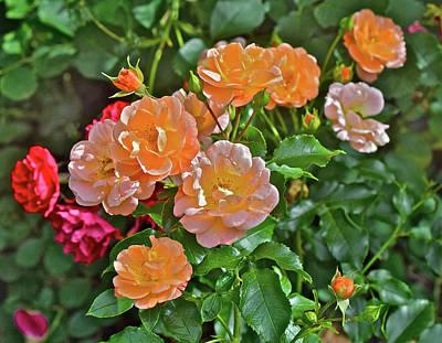 Photograph - 2017 Mid June At The Gardens Shrub Roses by Janis Nussbaum Senungetuk