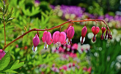 Photograph - 2017 Mid May At The Gardens Bleeding Hearts by Janis Nussbaum Senungetuk