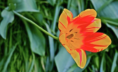 Photograph - 2017 Mid May At The Gardens Yellow And Red Tulip by Janis Nussbaum Senungetuk