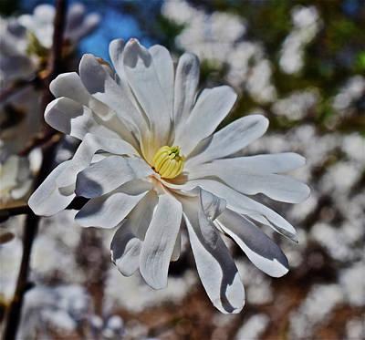 Photograph - 2017 Spring Gardens Star Magnolia 1 by Janis Nussbaum Senungetuk