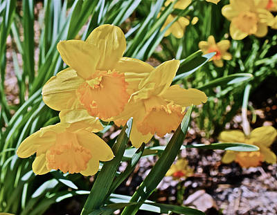 Photograph - 2017 Spring Gardens April Daffodils 1 by Janis Nussbaum Senungetuk