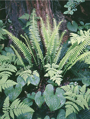 Photograph - 204750 Ferns In Rain Forest by Ed Cooper Photography
