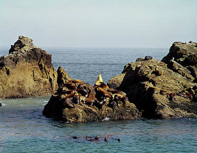 Photograph - 206039 California Sea Lions At Point Reyes  by Ed  Cooper Photography