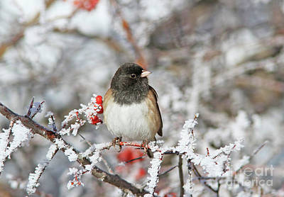 Black Photograph - Dark-eyed Junco by Gary Wing