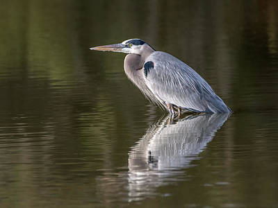 Photograph - Great Blue Heron by Tam Ryan