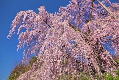 Photograph - Miharu Takizakura Weeping Cherry21 by Tatsuya Atarashi