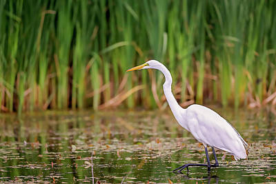 Photograph - White, Great Egret by Peter Lakomy