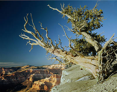 Photograph - 212510 Bristlecone Pine At Cedar Breaks by Ed Cooper Photography