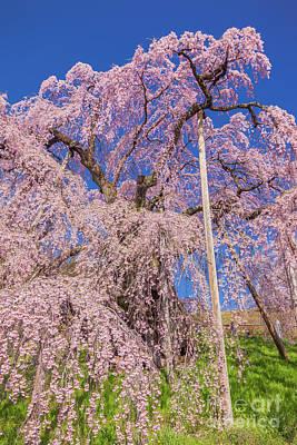 Photograph - Miharu Takizakura Weeping Cherry22 by Tatsuya Atarashi