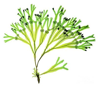 Rockweed Seaweed, X-ray Art Print