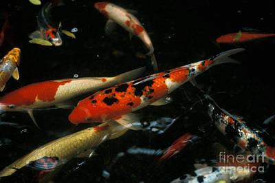 The Koi Pond Art Print by Marc Bittan