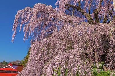 Photograph - Miharu Takizakura Weeping Cherry23 by Tatsuya Atarashi