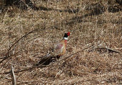 Photograph - Ring-necked  Pheasant  by Lori Tordsen