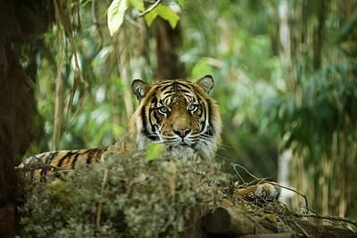 Animals Digital Art - Tiger by Super Lovely