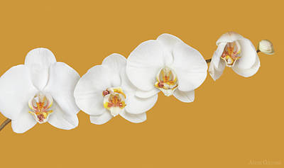 Orchid Wall Art - Photograph - Moth Orchid Nursery by Anne Geddes