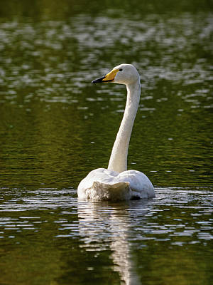 Photograph - Whooper Swan by Jouko Lehto