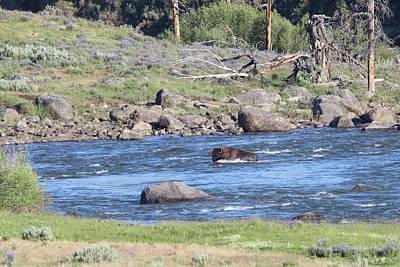 Photograph - American Bison Yellowstone Usa by Bob Savage