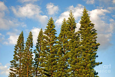 Photograph - 24- Australian Pines by Joseph Keane