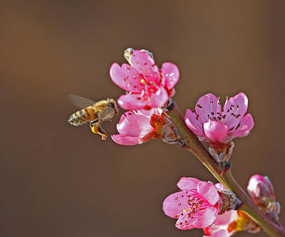 Bugs Photograph - Honeybee by Gary Wing