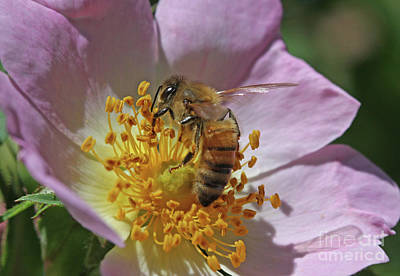 Flower Photograph - Honeybee by Gary Wing