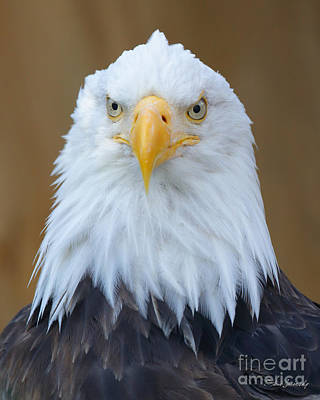 Photograph - Bald Eagle by Steve Javorsky