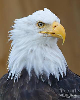 Photograph - Bald Eagle by Steve Javorsky