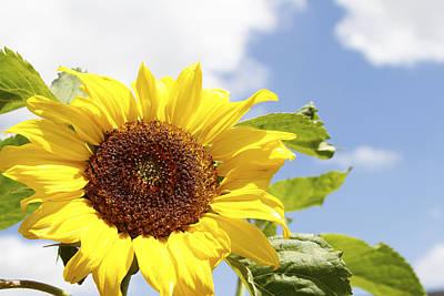 Flower Gardens Photograph - Sunflower by Les Cunliffe