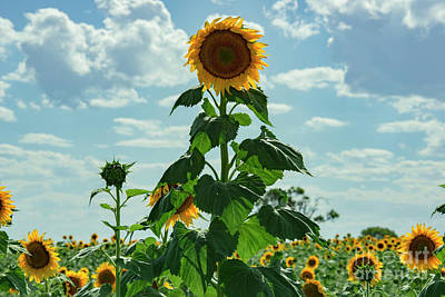 Photograph - Sunflowers In A Field In The Afternoon. by Rob D