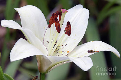 White Lily Art Print by Elvira Ladocki