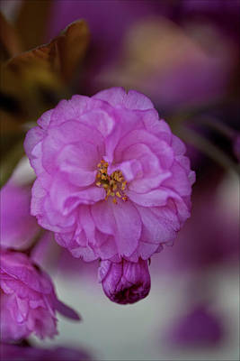 Bath Time Rights Managed Images - Cherry Blossoms Royalty-Free Image by Robert Ullmann