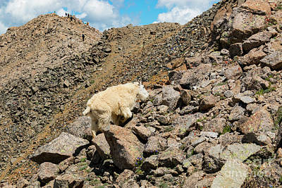 Photograph - Hikers And Goats On Mount Massive Summit by Steve Krull