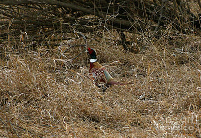 Photograph - Ring-necked Rooster Pheasant  by Lori Tordsen