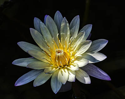 Urban Abstracts Royalty Free Images - Water Lily Royalty-Free Image by Robert Ullmann