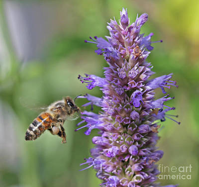 Pollinator Wall Art - Photograph - Honeybee by Gary Wing