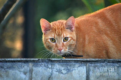 Photograph - 28- Orange Mackerel Tabby Cat by Joseph Keane