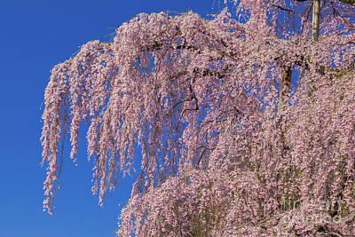 Photograph - Miharu Takizakura Weeping Cherry26 by Tatsuya Atarashi