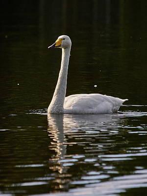 Rowing - Whooper swan by Jouko Lehto