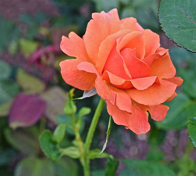 Photograph - 2915 Fall Equinox At The Garden Tahitian Sunset Rose 2 by Janis Nussbaum Senungetuk