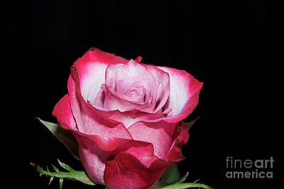 Photograph - Beautiful Rose by Elvira Ladocki