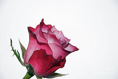 Photograph - Beautiful Rose by Elvira Ladocki