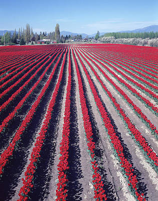 Photograph - 2a4339 Tulip Rows In Washington by Ed Cooper Photography