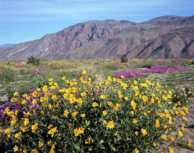 Photograph - 2a6995 Wildflowers In Anza Borrego Desert State Park by Ed Cooper Photography