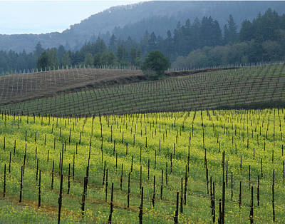 Photograph - 2b6320 Mustard In Vinyards by Ed Cooper Photography