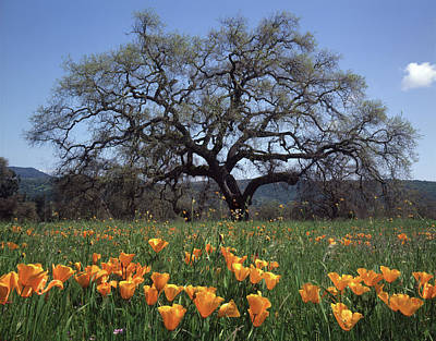 Photograph - 2b6346 Late Grand Oak And California Poppies by Ed Cooper Photography