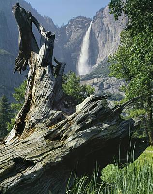 Photograph - 2m6503 Yosemite Falls And Juniper Stump by Ed Cooper Photography