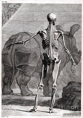 Rhinoceros Photograph - 18th Century Anatomical Engraving by Science Source