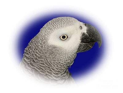 Photograph - African Grey Parrot  by Debbie Stahre